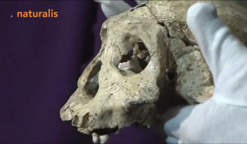 Infofilm maakt korte videoclip over beveiligd transport Dmanisi schedel naar Naturalis